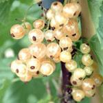 Aalbes Ribes Rubrum Witte Parel