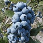 Blauwe Bes Vaccinium Corymbosum Coville